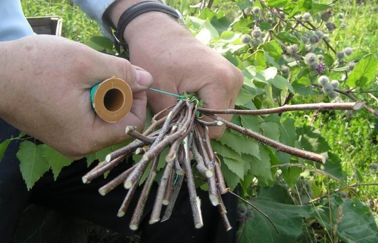 Заготовка веников для бани сроки